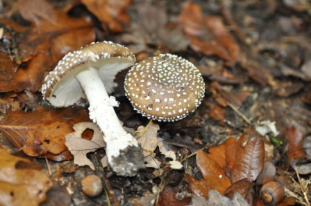amanita-pantherina