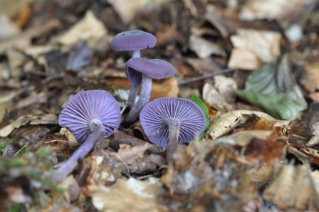 laccaria-amethystina-ds-5158-vlow