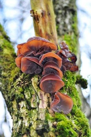 jelly-ear-auricularia-auricula-judae-ds2